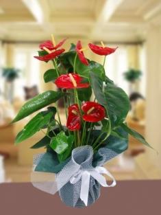 Kırmızı Antoryum (Anthurium )Saksı Çiçeği