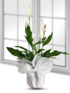Spatifilyum(Barış Çiçeği)