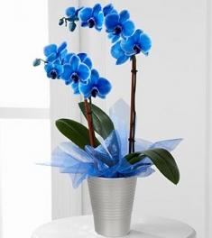 Mavi Orkide 2 li