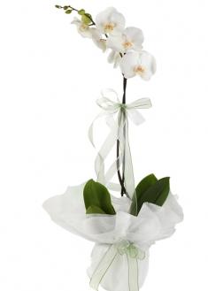 İthal Tekli Beyaz Orkide